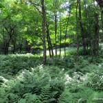 Fern undergrowth on way up Kwagama Hill