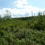 Very overgrown skidder path