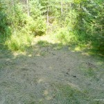 Grass flattened by moose