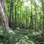 Bushwhack through deciduous forest