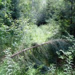 Overgrown trail at the fork near the washed out bridge