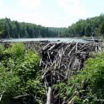 Beaver dam on route