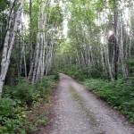 Birches line the road