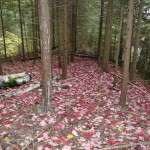 Red leaves fallen on the railbed trail