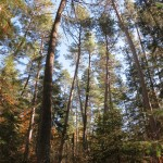Red pine forest canopy