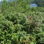 Blueberry bushes on the summit