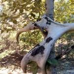 Moose antlers