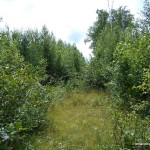 Trail overgrown with alders
