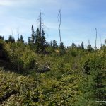 Bushwhacking through old clearcut
